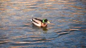 Утка в воде Стоковые Изображения RF