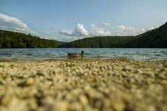Утка в голубом озере Стоковое Фото