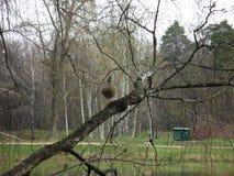 Утка в дереве, на одной ноге стоковая фотография rf