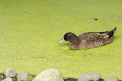 Утка в зеленом пруде Стоковая Фотография RF