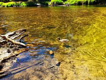 Утка в золотом потоке Стоковые Фотографии RF
