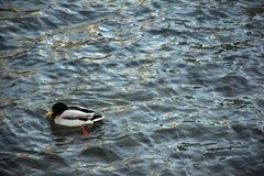 Утка в озере Стоковая Фотография