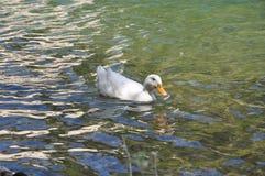 Утка в озере Стоковые Изображения RF