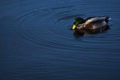 Утка в озере Стоковое Изображение