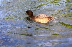 Утка в пруде Стоковая Фотография
