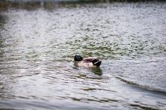 Утка в пруде Стоковая Фотография RF
