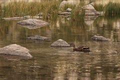 Утка в реке горы стоковая фотография rf