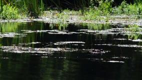 Утка в реке видеоматериал
