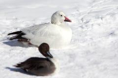Утка в снеге. Стоковые Изображения RF