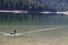 Утка в черном озере Стоковые Фото
