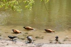 Утка Дикая утка Утка плавает на озеро Стоковое Изображение RF