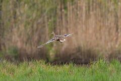 Утка летания в береге озера стоковое фото rf