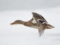 Утка летания Стоковые Фотографии RF