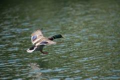Утка летания Стоковое Изображение