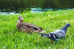 Утка, история утки Стоковое Фото
