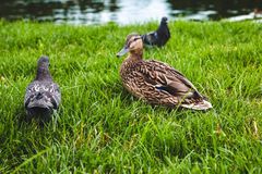 Утка, история утки Стоковые Фото