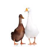 Утка и гусына Стоковая Фотография RF