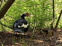 Утка и младенцы мамы Стоковая Фотография