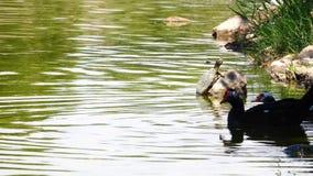 Утка и черепаха около озера сток-видео