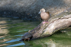 Утка и черепаха bellied чернотой свистя Стоковые Фотографии RF