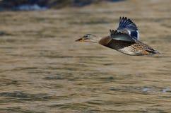 Утка кряквы летая низко над рекой Стоковое Изображение