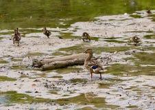 Утка кряквы матери и ее утята в мелком озере в парке Watercrest, Даллас, Техасе стоковое изображение