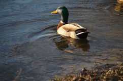Утка кряквы на воде Стоковое Изображение RF