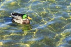 Утка кряквы на воде стоковые изображения rf