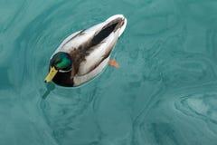 Утка кряквы на воде Стоковое Фото