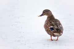 Утка кряквы на замороженном озере Стоковая Фотография