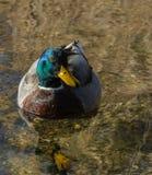 Утка кряквы на озере Стоковое фото RF