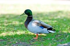 Утка кряквы на парке Стоковые Фотографии RF