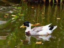 Утка кряквы плавает в озере или пруде с коричневой и зеленой водой Стоковые Фото