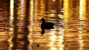 Утка кряквы плавая на красочную поверхность воды сток-видео