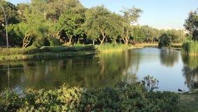 Утка кряквы плавая на озере акции видеоматериалы