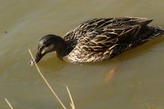 Утка кряквы подавая в тёмной речной воде Стоковая Фотография RF
