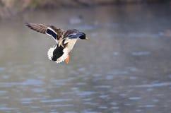 Утка кряквы приходя внутри для посадки на воде Стоковое Изображение RF