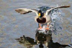 Утка кряквы приходя внутри для посадки на неподвижной воде Стоковое Фото