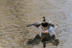 Утка кряквы приходя внутри для посадки на неподвижной воде Стоковые Фотографии RF