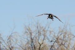 Утка кряквы приходя внутри для приземляться в заболоченные места Стоковые Фотографии RF