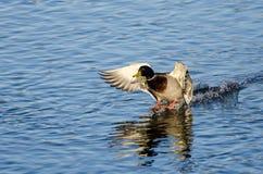 Утка кряквы приходя внутри для посадки на неподвижной воде Стоковые Изображения RF