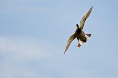 Утка кряквы приходя внутри для посадки Стоковые Фото