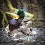 Утка кряквы тряся с воды Стоковое Фото