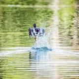 Утка кряквы - platyrhynchos Anas - летите из воды, красоты внутри Стоковое Фото