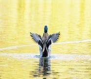 Утка кряквы - platyrhynchos Anas - летите из желтой воды, bir Стоковые Фото