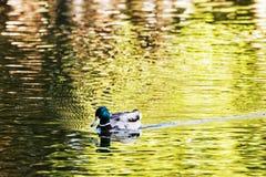 Утка кряквы - platyrhynchos Anas - заплывы в озере, красота внутри Стоковые Изображения