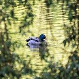Утка кряквы - platyrhynchos Anas - заплывы в озере, птица scen Стоковые Фото