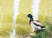 Утка кряквы - platyrhynchos Anas - на береге озера, красоте внутри Стоковые Фотографии RF