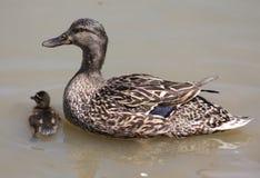Утка мамы и младенца Стоковое Изображение RF