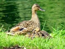 Утка мамы с ее маленькими пушистыми детьми Стоковые Изображения